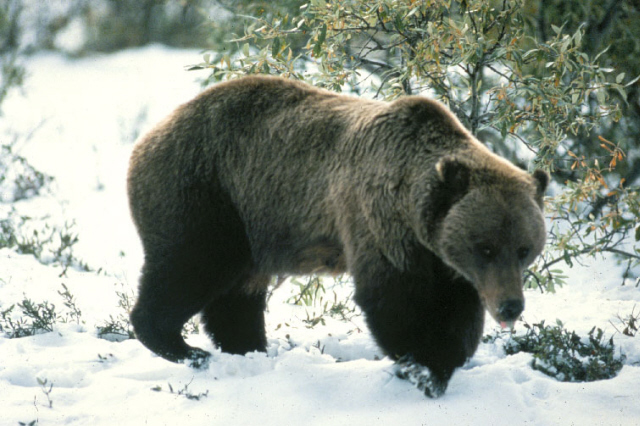 Bears out of hibernation in Grand Teton National Park & the Rockefeller Parkway