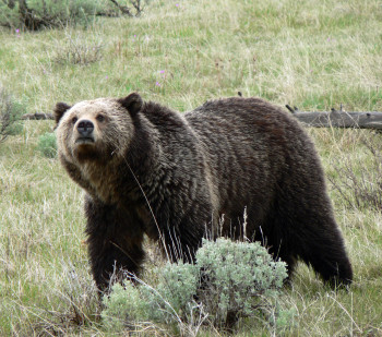 Grizzly bear activity closes Moose-Wilson road