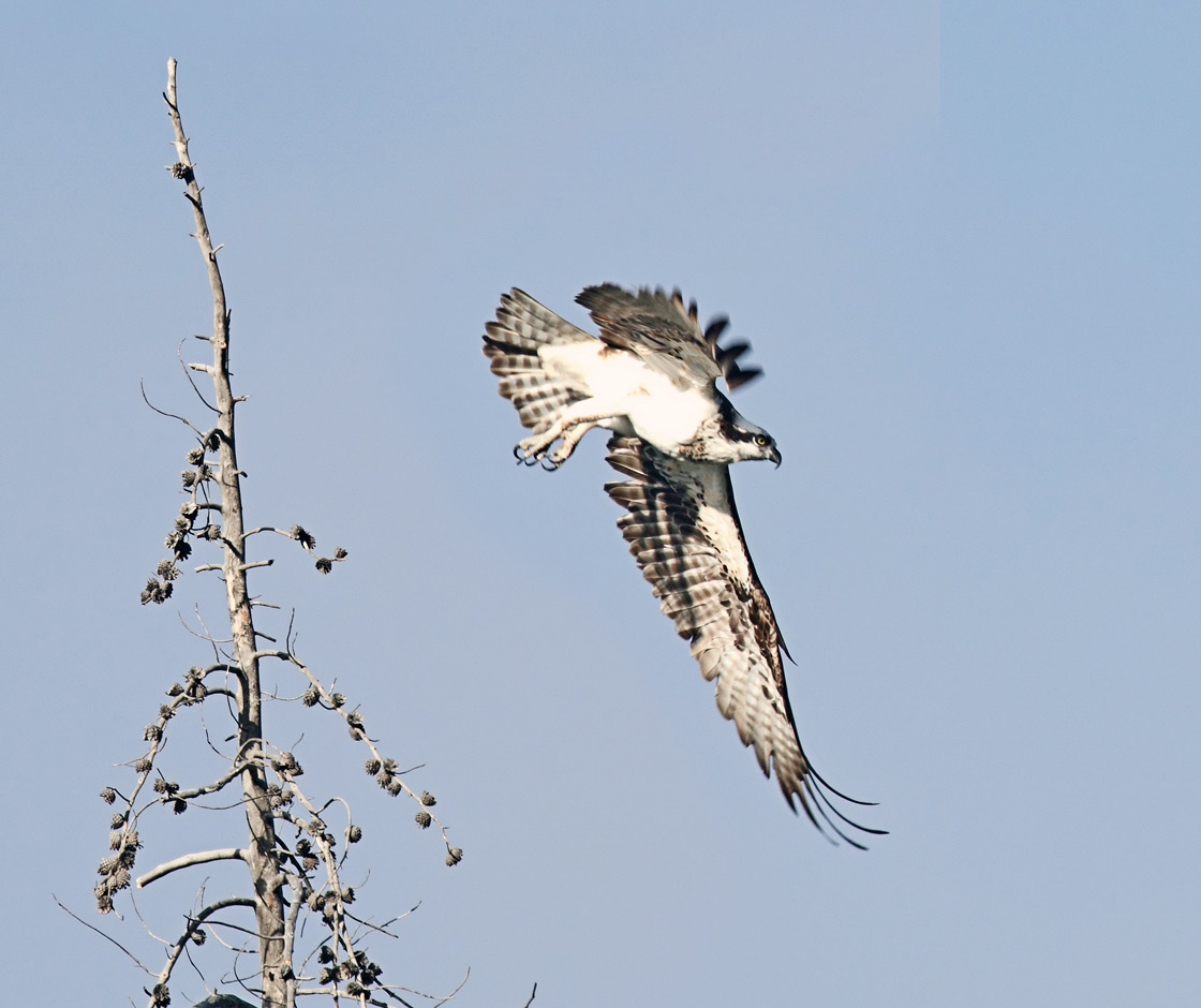 Attend Yellowstone's Hawk Watch On September 23