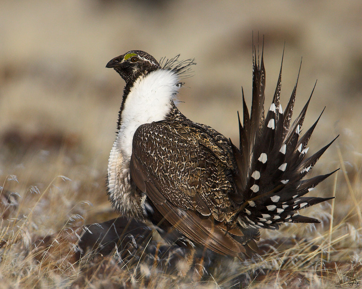 BLM Invites Public To Meeting On Sage-grouse Conservation Plans