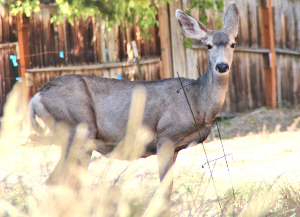 Photo Essay: Wyoming Game & Fish Rescue Deer Caught in Fencing