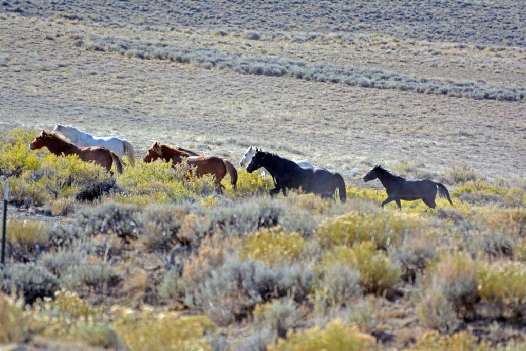 Blm Completes Rock Springs Wild Horse Gather In Adobe Town, Salt Wells Creek And Great Divide Basin