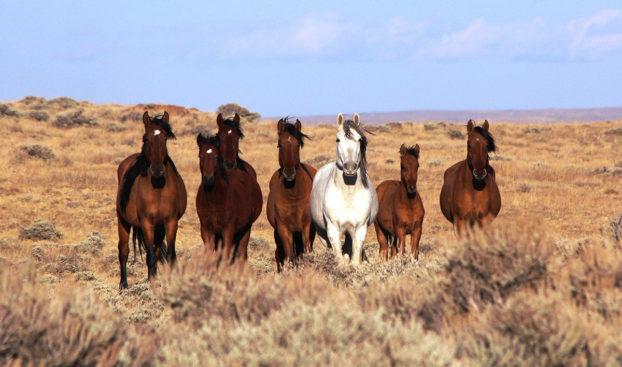 BLM Has Gathered 1,062 Horses & 269 Foals So Far; 12 Deaths