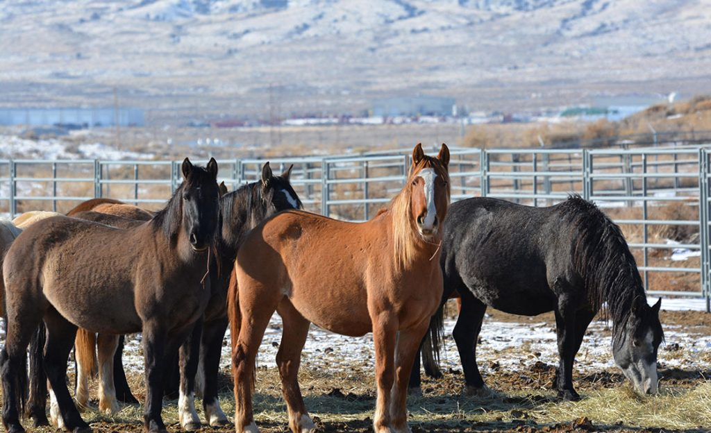Rock Springs Wild Horse Holding Facility Reopening With Winter Adoption Event