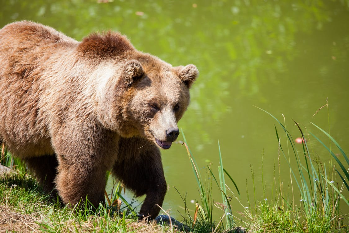 After Public Comment, WGF Reports Support for Grizzly Hunts