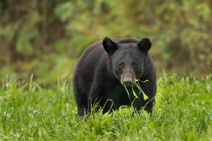 Bear Bait Renewal Period Begins March 1