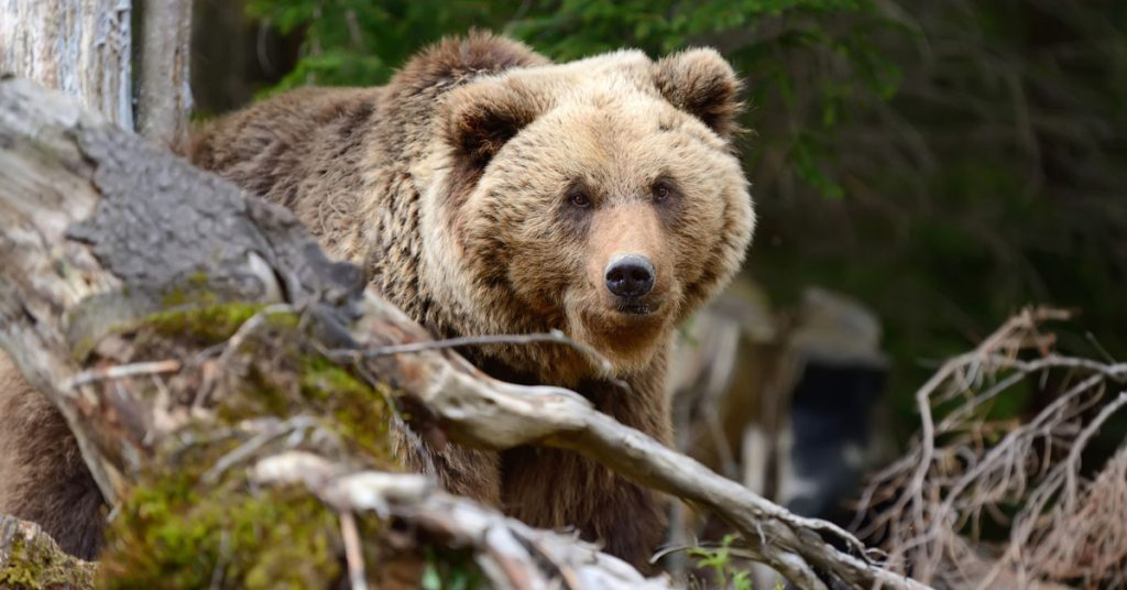 Grizzly Bear Hunting Draw Results Announced Today