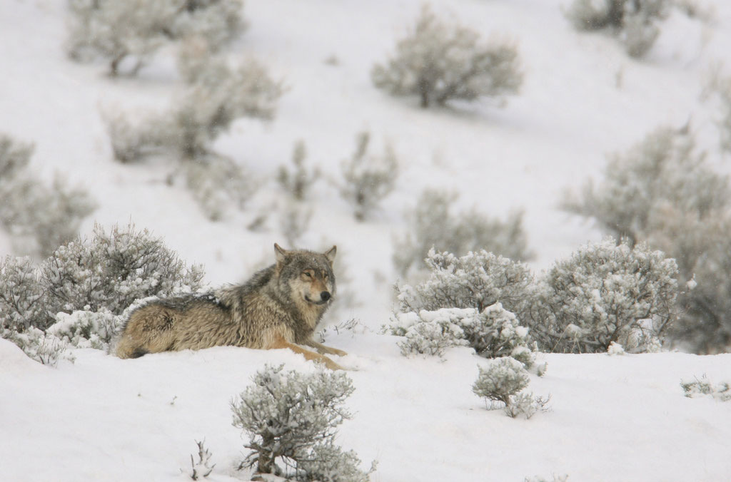 Wyoming's Wolf Population Above Recovery Criteria for 16th Straight Year