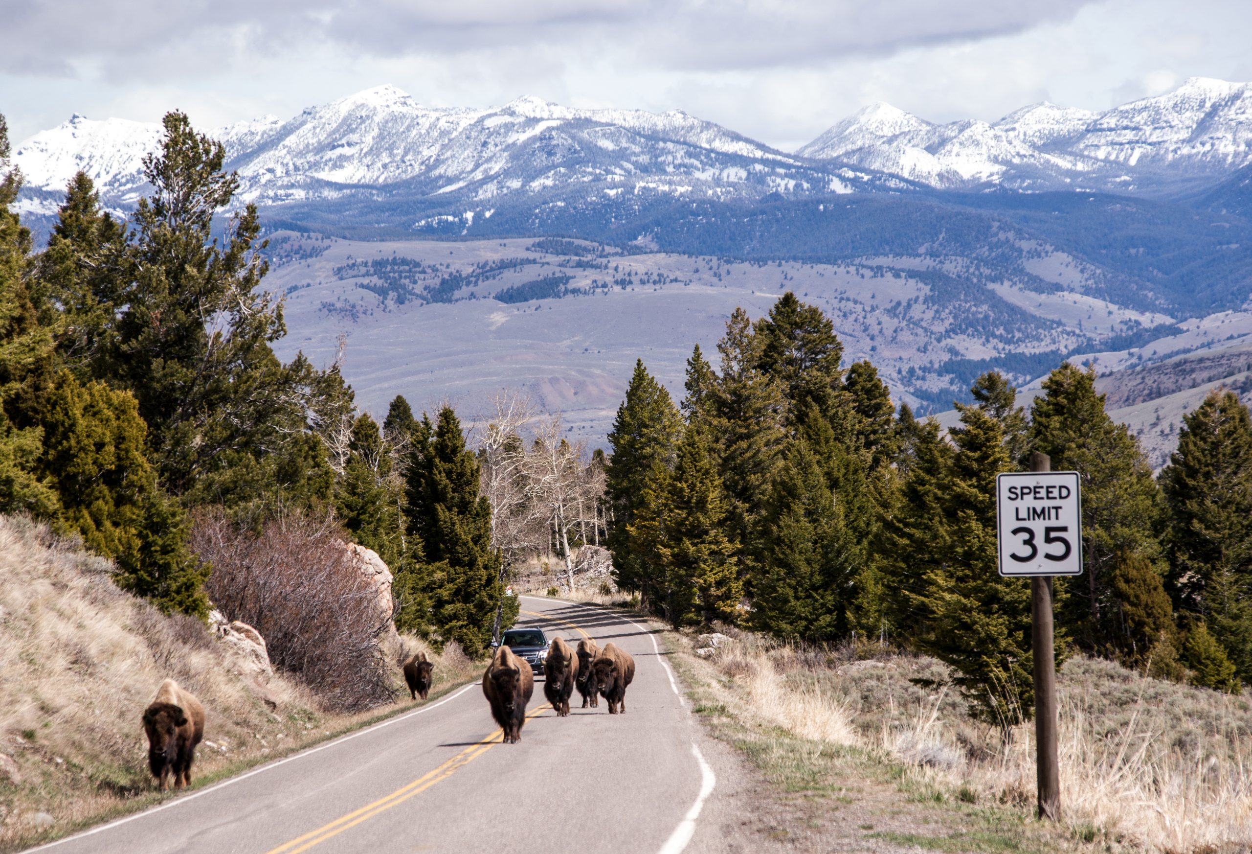 Bison Injures Visitor at Old Faithful in Yellowstone National Park