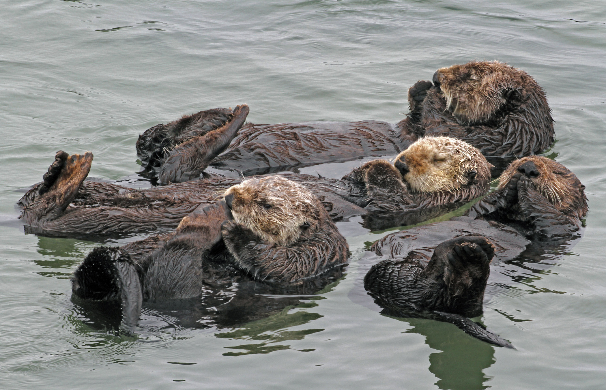 UW Researchers Study How to Improve Southern Sea Otters' Chances of Survival