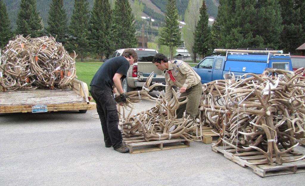 The 51st Elk Antler Auction at the National Elk Refuge