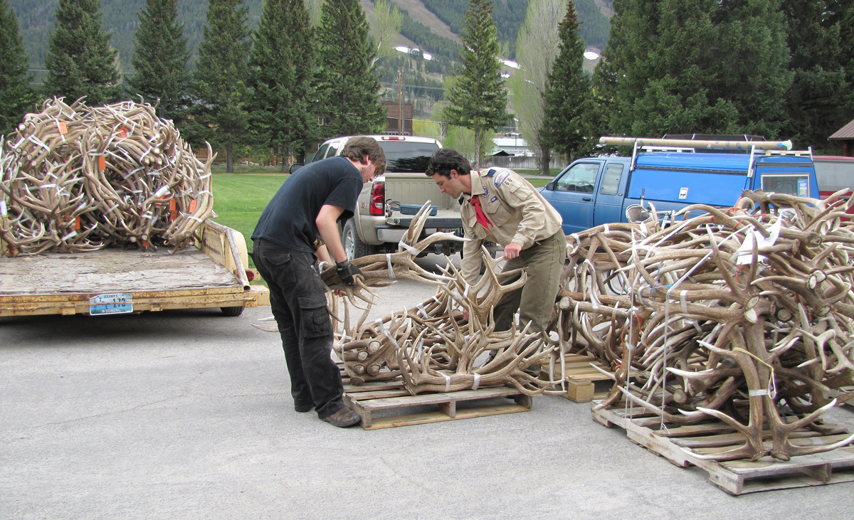 The 51st Elk Antler Auction at the National Elk Refuge