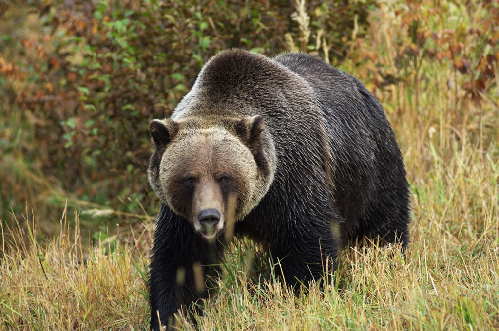 Federal Judge Restores Endangered Species Act Status to Greater Yellowstone Ecosystem Population of Grizzly Bears