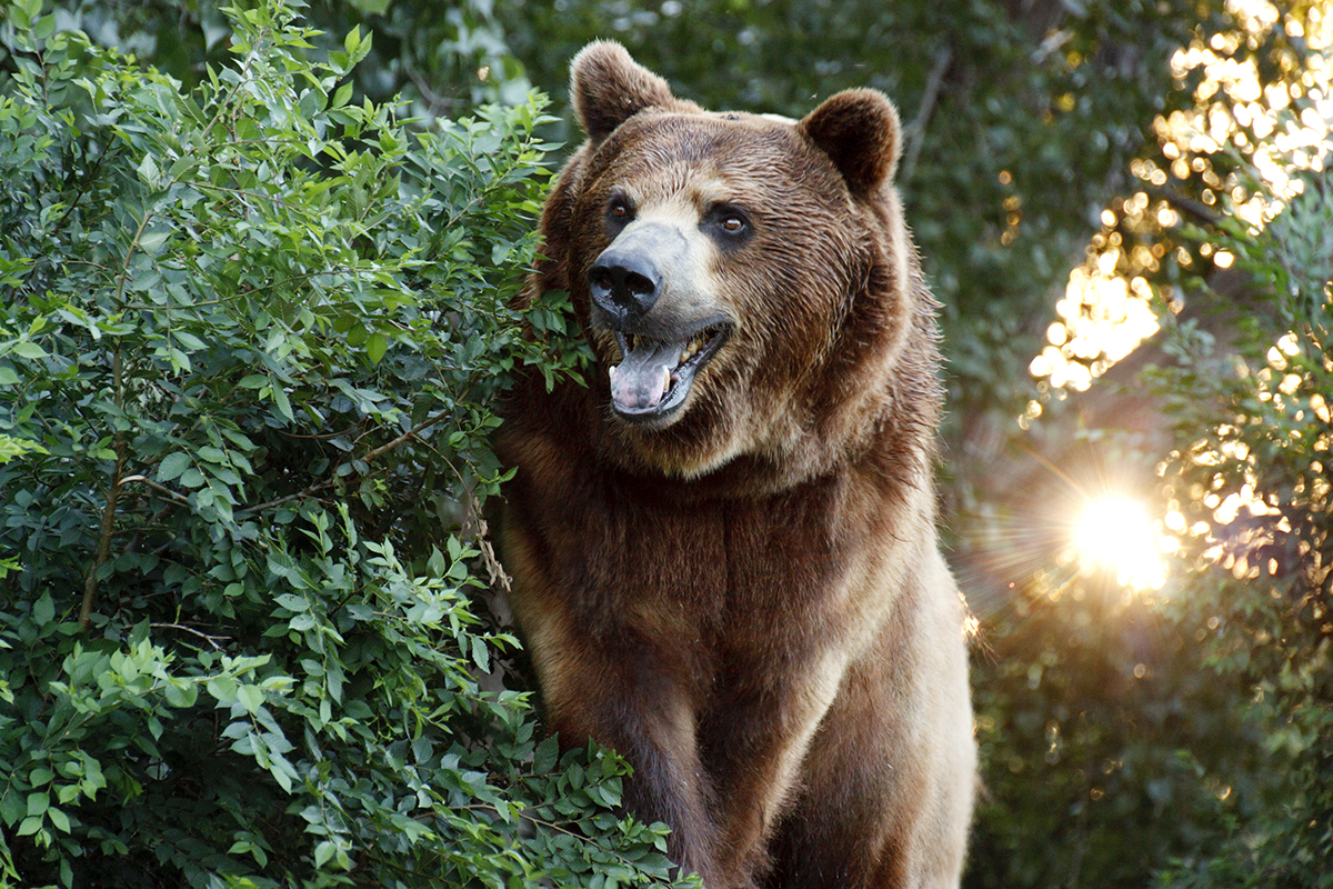 Judge Issues Temporary Restraining Order in Grizzly Bear Case