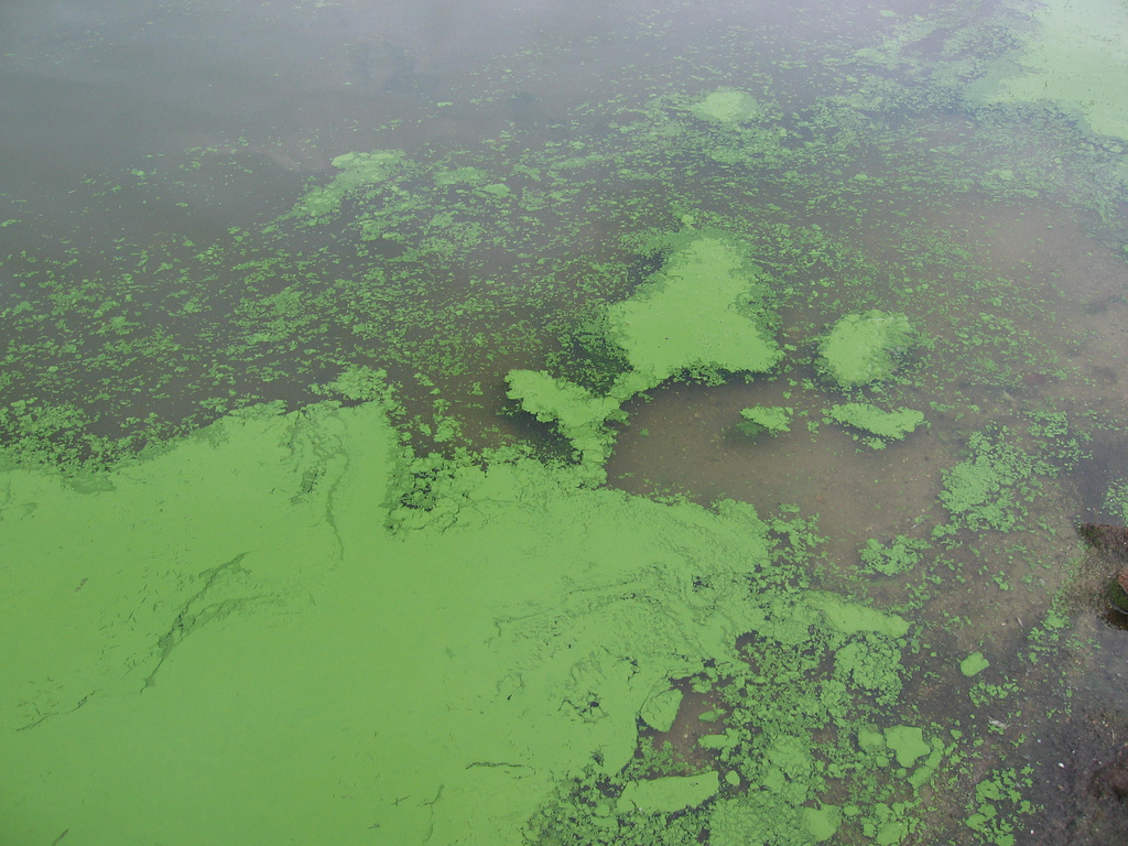 Algae Blooms Seen at Lost Dog in the Flaming Gorge Reservoir