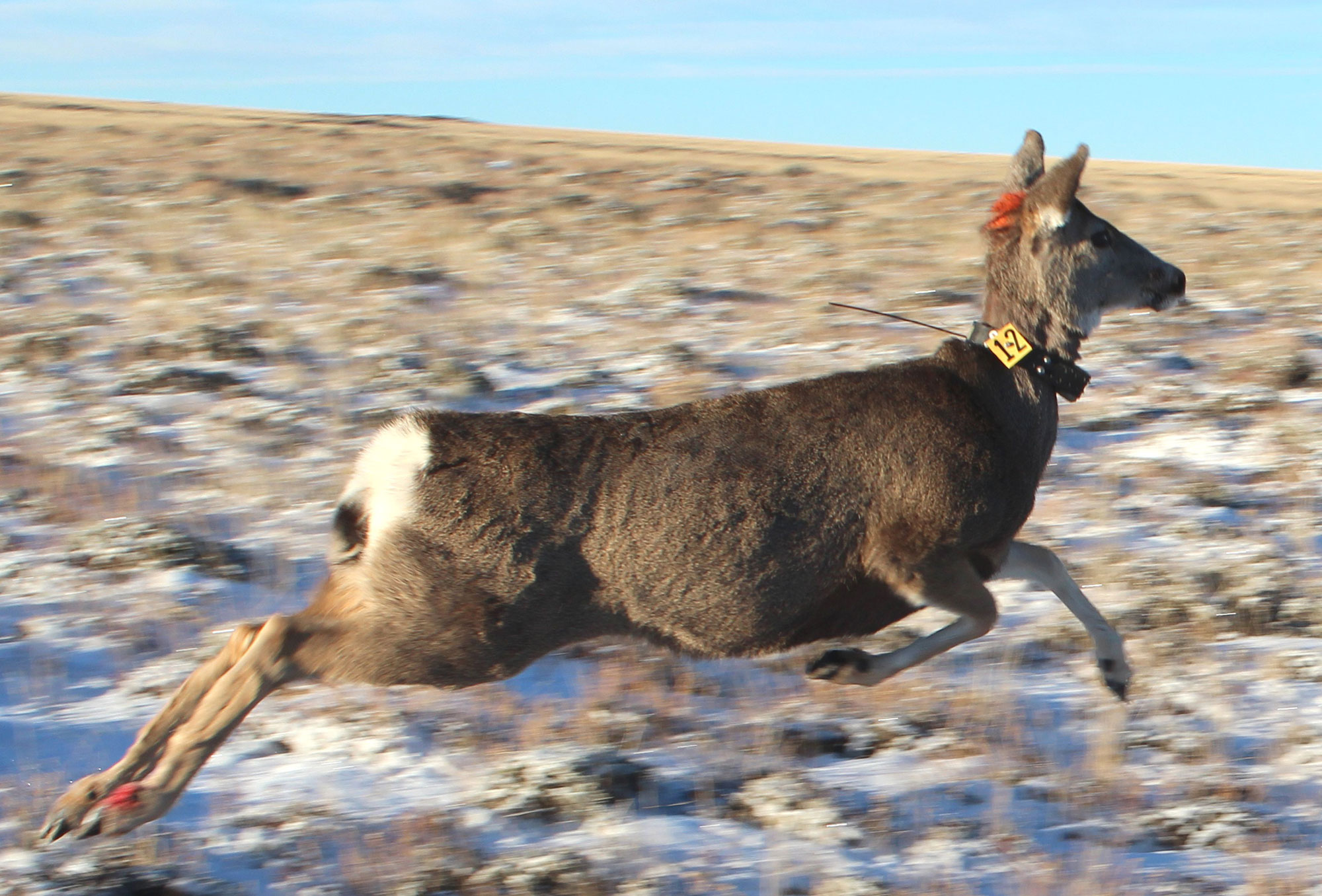 Mule Deer Research Ongoing Near Superior