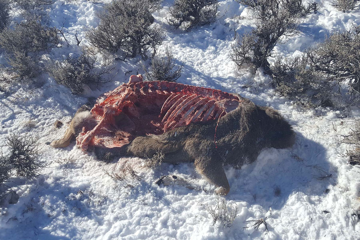 Two Mule Deer Poached Near Pinedale
