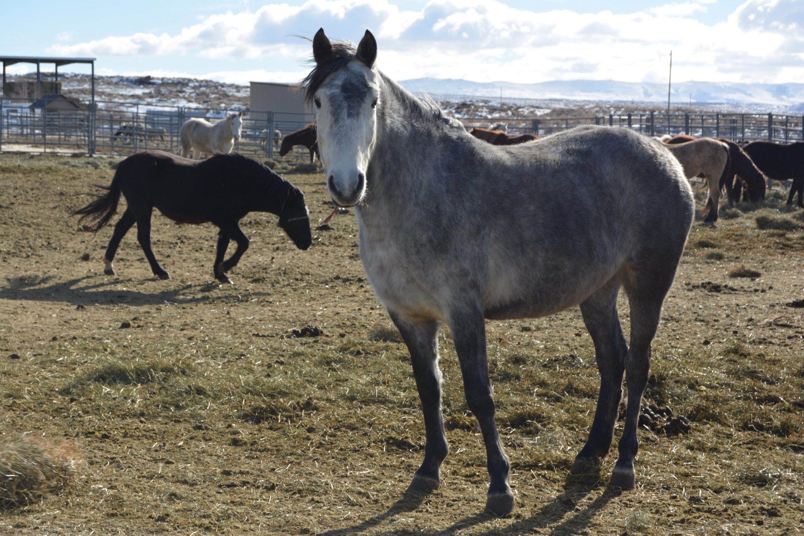 BLM Announces Upcoming Wild Horse Adoption Events in Rock Springs