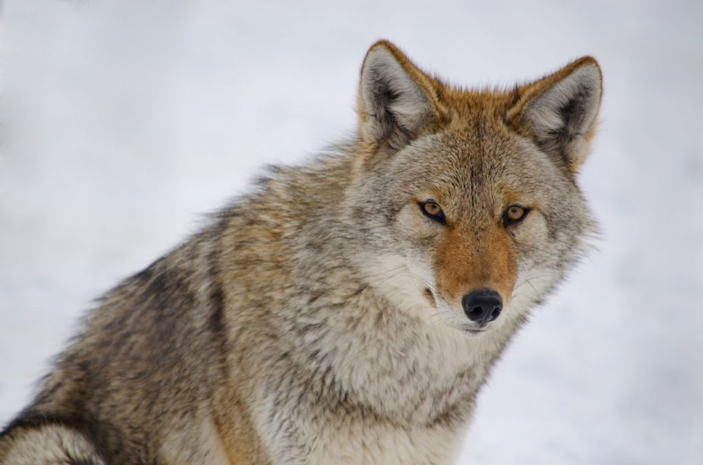 "OPINION: End the Brutal ""Coyote Whacking"" in Wyoming"