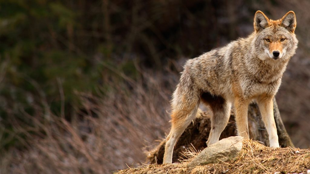"OPINION: End the Brutal ""Coyote Whacking"" in Wyoming ??"