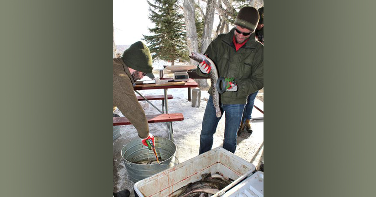 Burbot Bash A Huge Success As Anglers Remove Invasive Species From Flaming Gorge