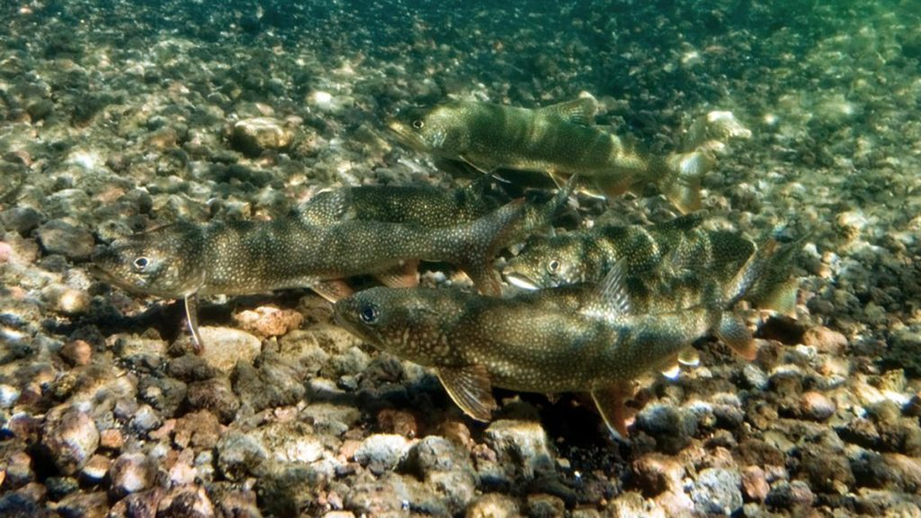 """""""Mac Attack"""" Fishing Derby Created to Benefit Flaming Gorge Fishery"""