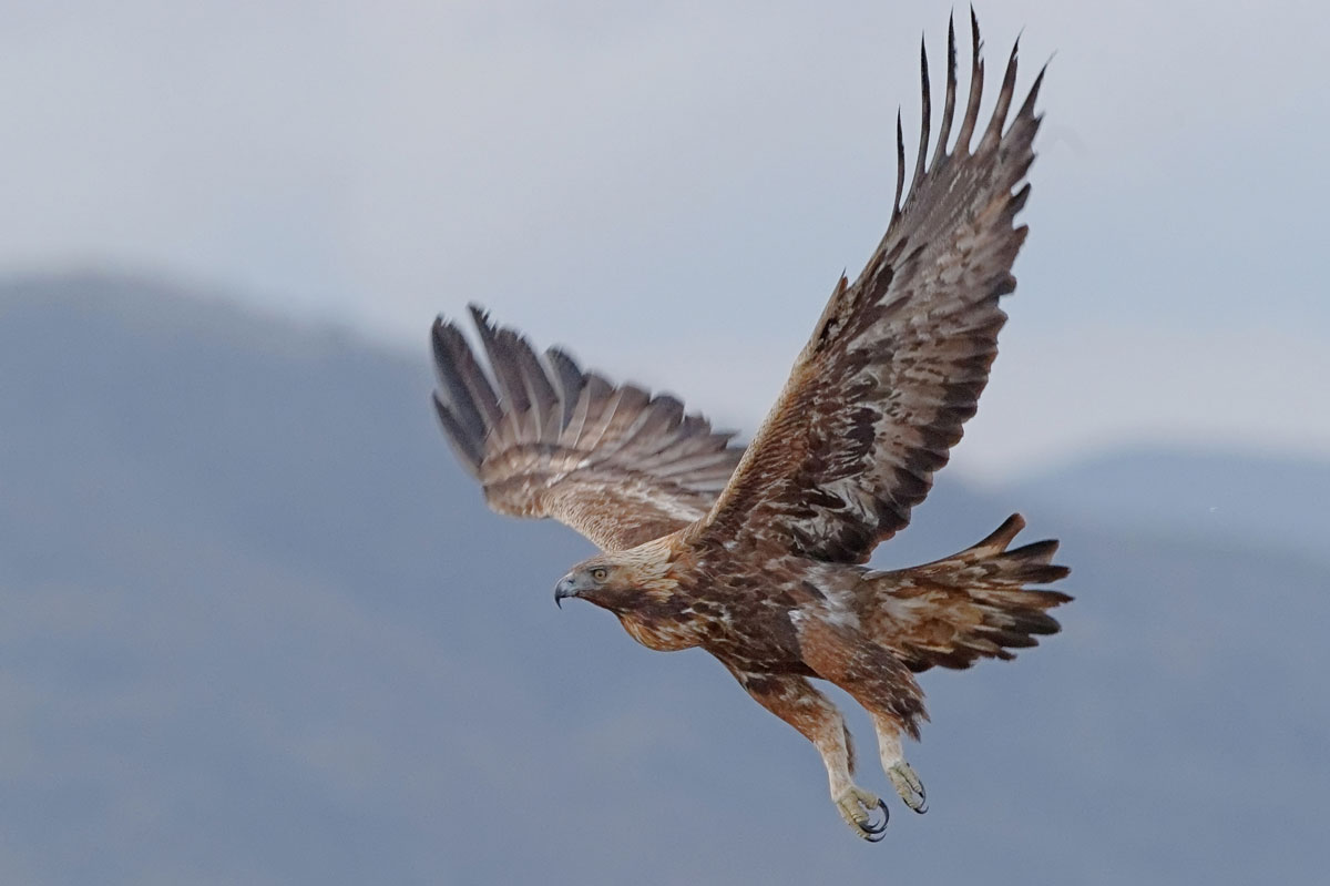 Yellowstone Golden Eagle Dies from Lead Poisoning