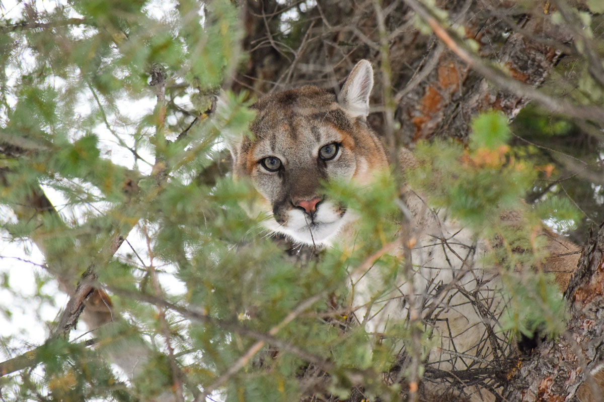 Three Men Sentenced for Illegal Mountain Lion Hunt