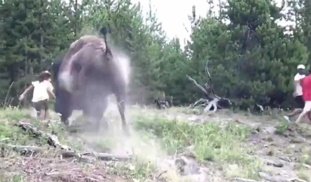 Nine-Year-Old Girl Tossed by Bison, Injured Near Old Faithful Geyser Area