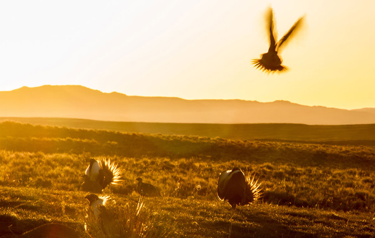 OPINION: Wyoming Must Lead in Conserving Greater Sage-Grouse as Feds Prioritize Energy Over Critical Wildlife Habitat
