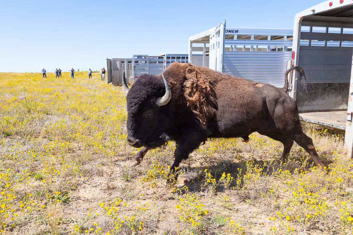 55 Male Bison Transferred from Yellowstone to Fort Peck Tribes