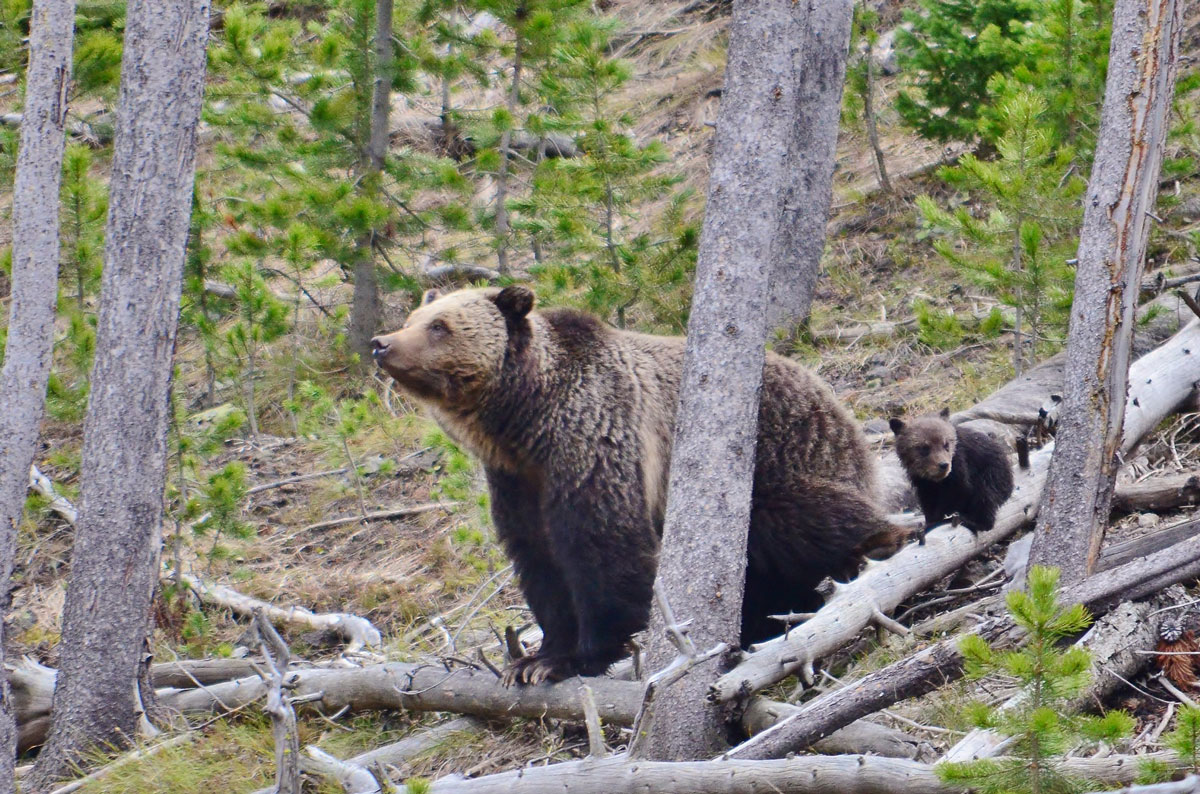 Yellowstone Grizzly Reinstated to Endangered Species Act in Compliance with Court Order