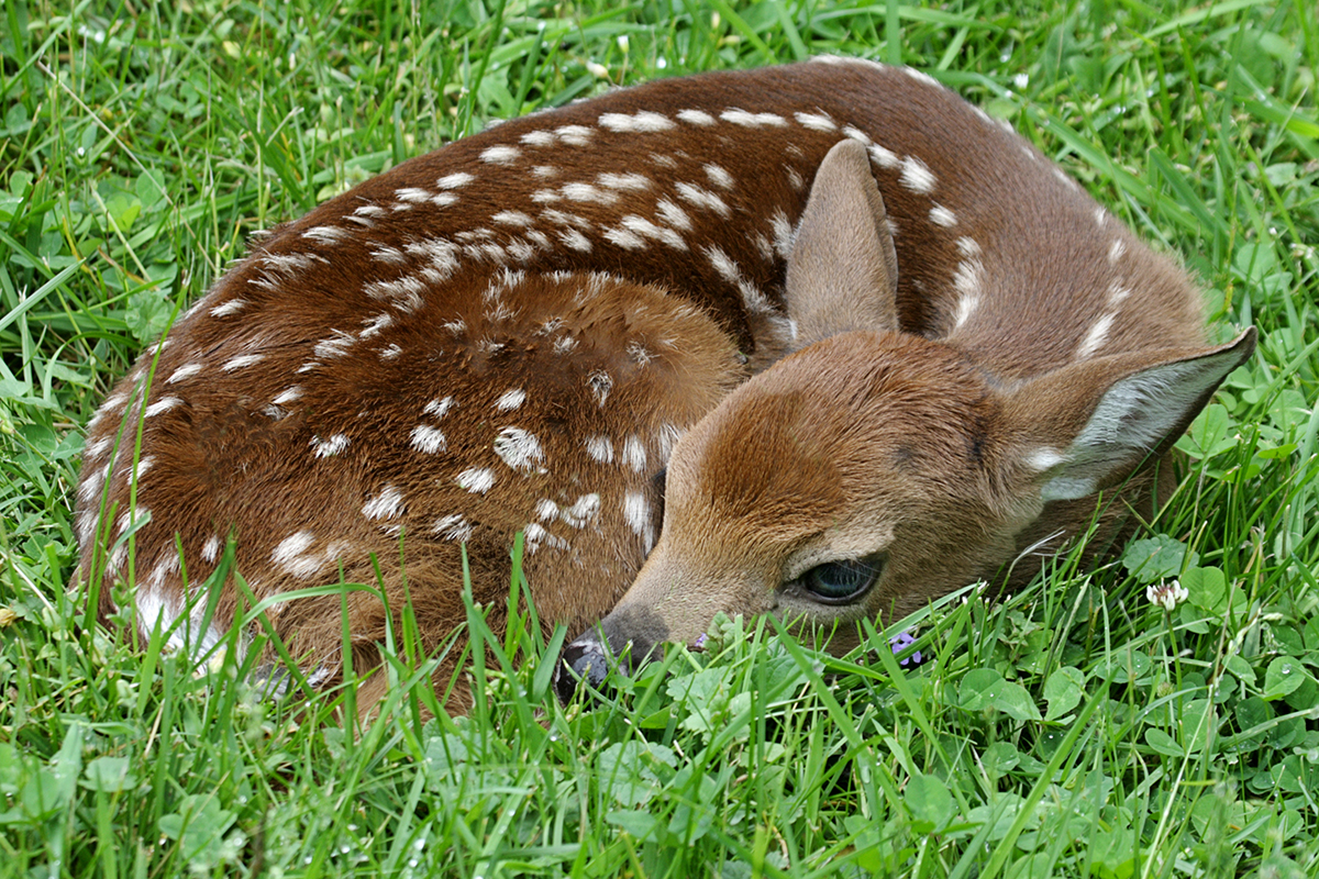 Game and Fish Seeking Tips on Poached White-Tailed Deer West of Wheatland