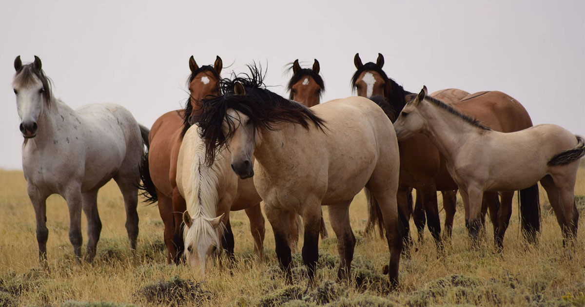 BLM Seeks Public Input on Wild Horse Gather Proposal