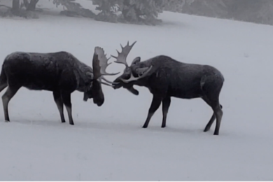 Wyoming G&F Wildlife Biologist Captures Moose Sparring