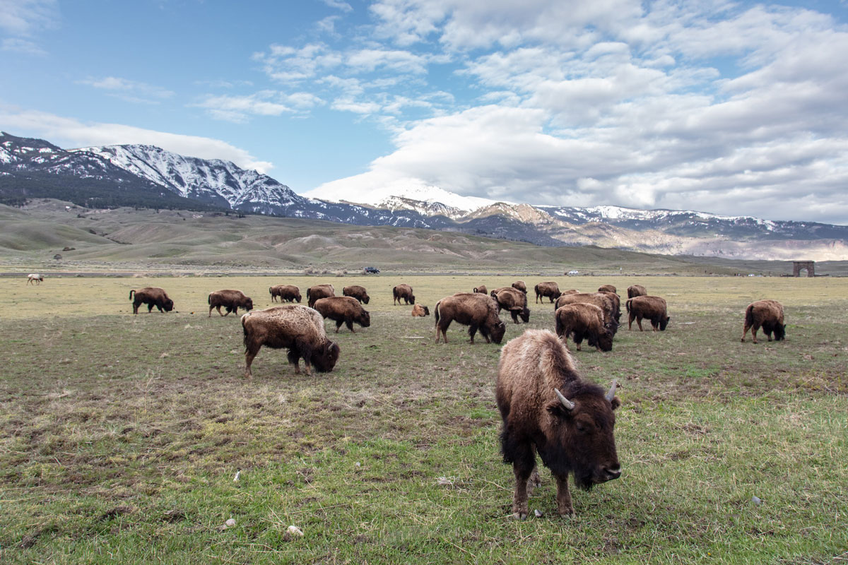 Study Shows Yellowstone Bison have Positive Effects on the Landscape