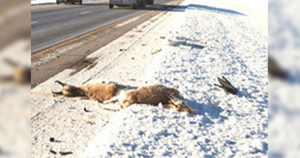 Motorists Urged to Watch for Migrating Pronghorn Antelope