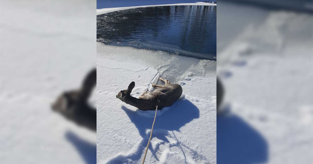 Sublette County Sheriff's Office Deputies Rescue Deer from Local Pond