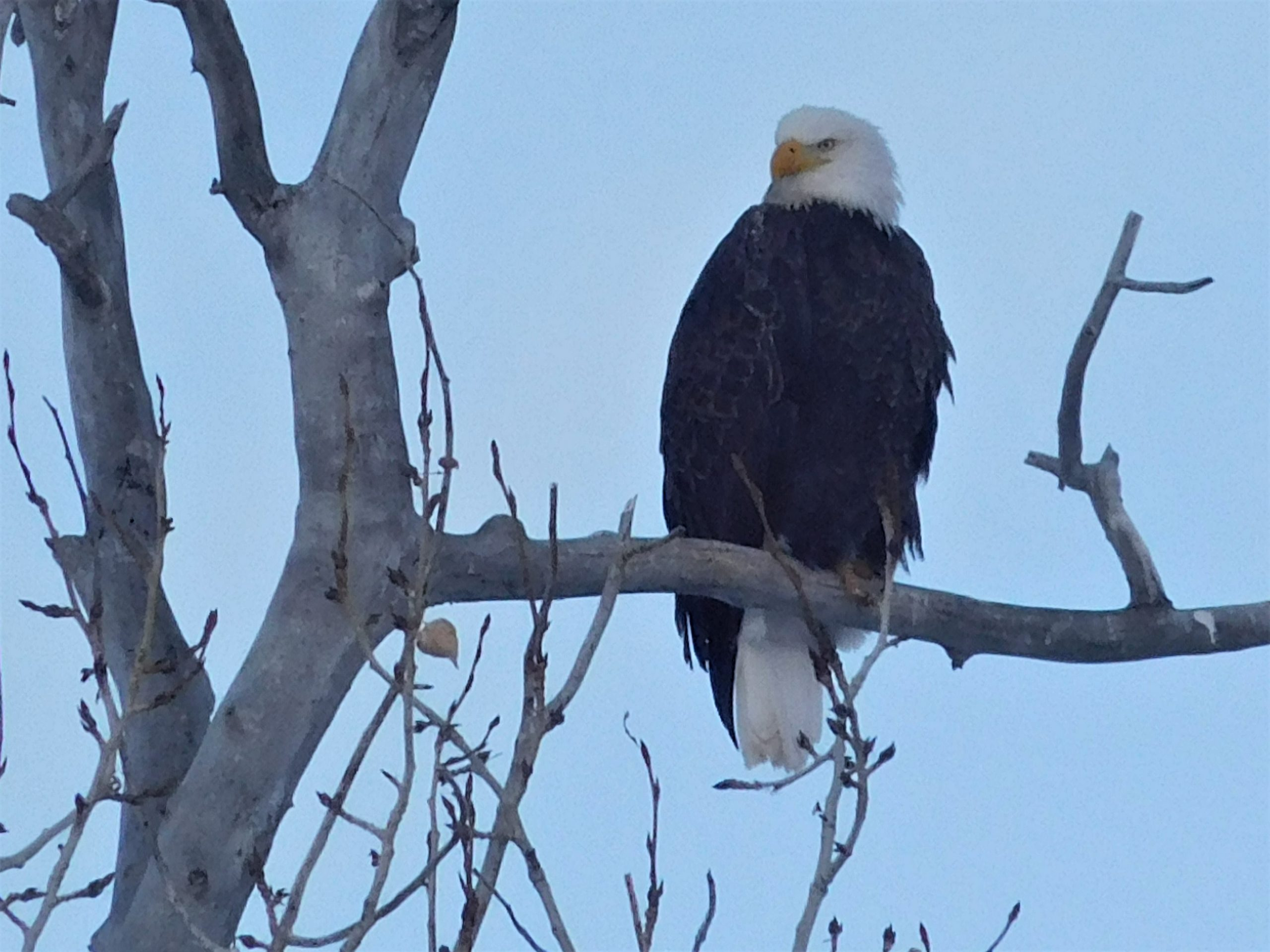 Volunteers Needed to Assist in Mid-Winter Eagle Survey
