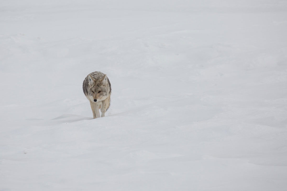 Skier Bit by Coyote in Yellowstone