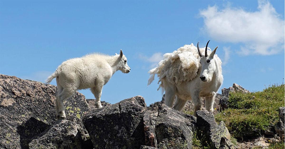 Governor Gordon Applauds Halt to Planned Aerial Gunning of Mountain Goats