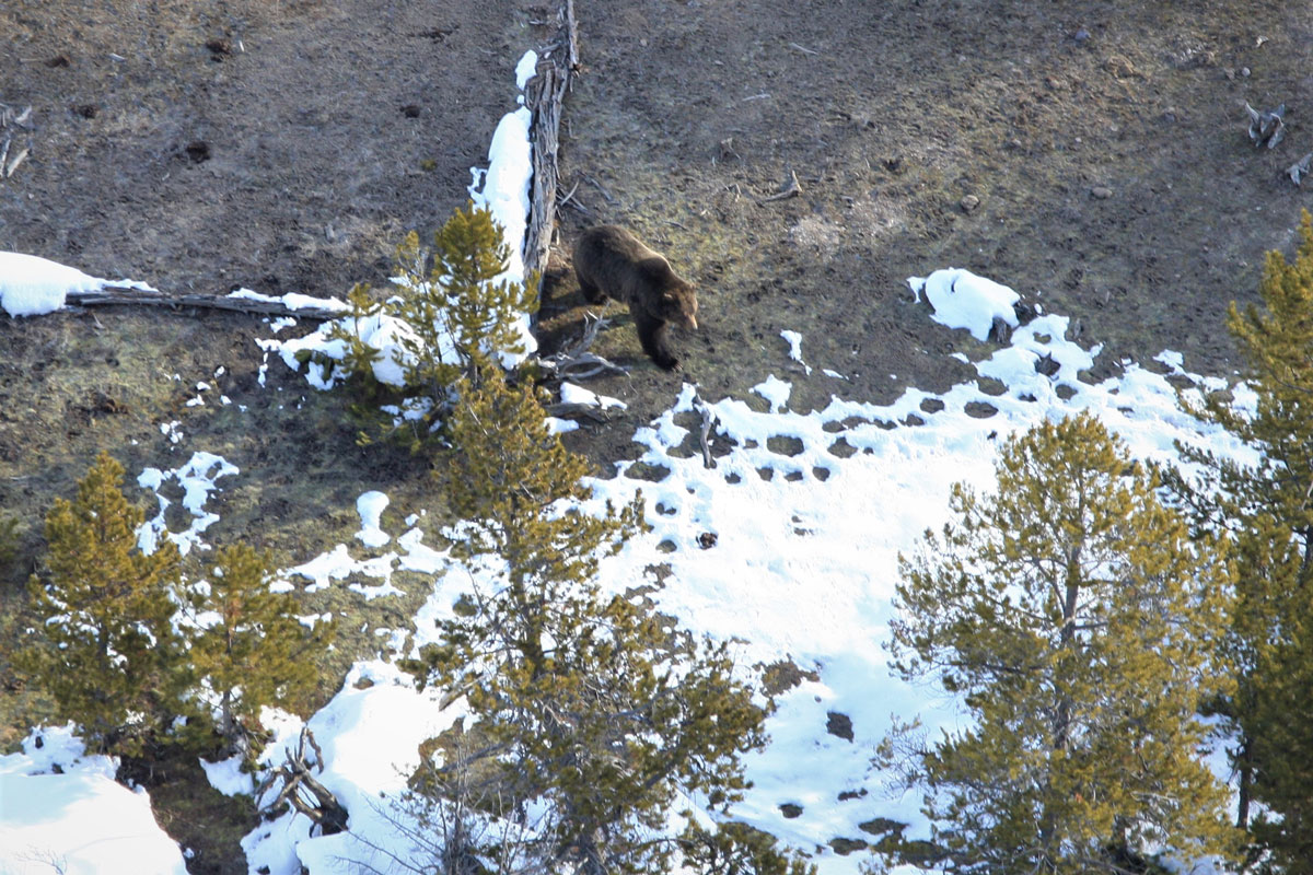 Yellowstone Biologists Spot First Bear of 2020