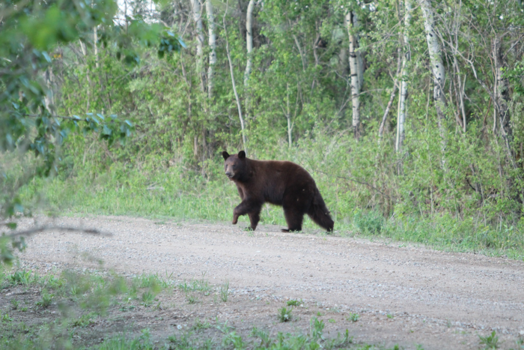 Game and Fish to Draft Emergency Rules to Delay Black Bear Site Registration Process