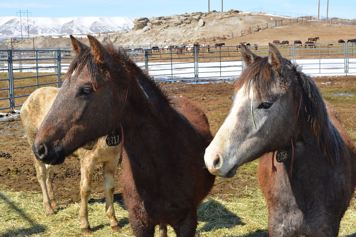 Rock Springs BLM Hosts Wild Horse Adoptions in March, April