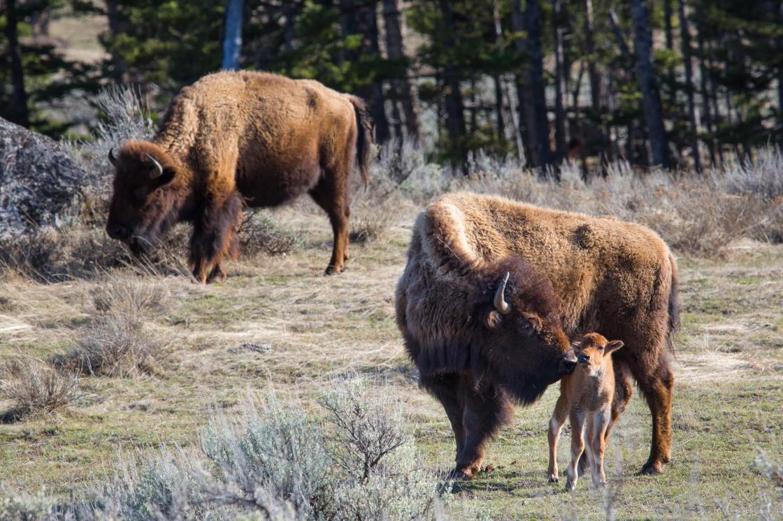 Barriers to Rehabilitation Outlined In Bison Calf Euthanization
