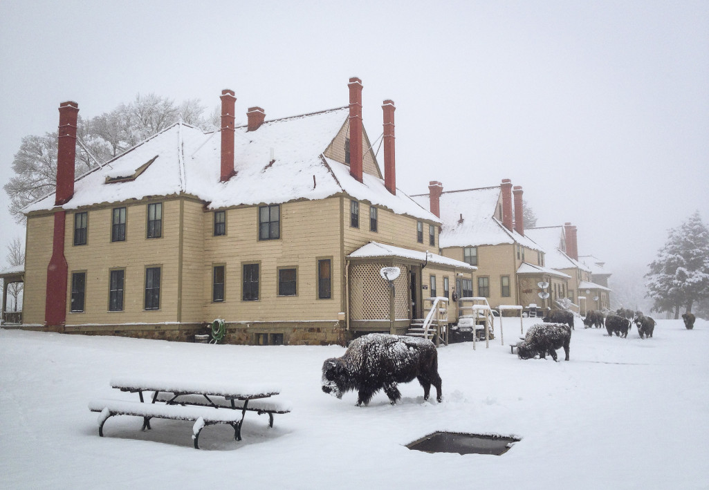 Yellowstone Begins Bison Capture Operations