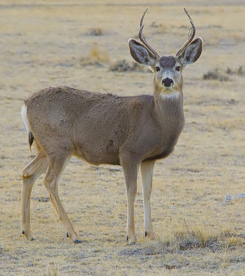Big Bucks For Big Bucks, Does and Fawns; Hunters fund massive public-private research collaboration aimed at restoring mule deer populations