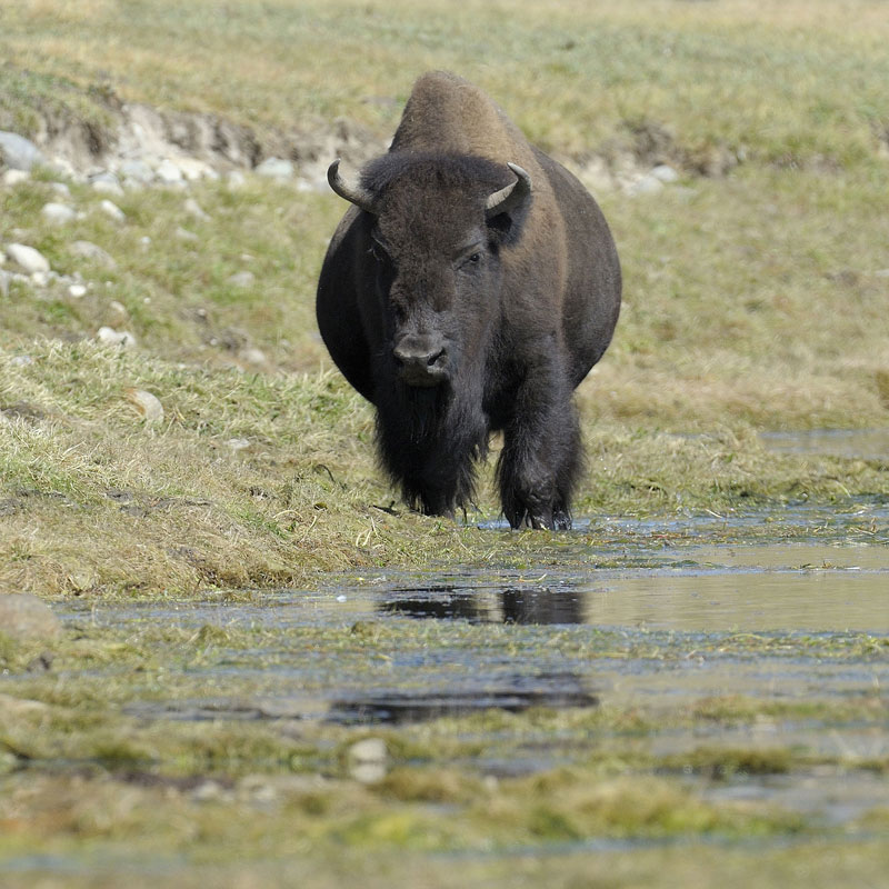 Two More People Injured After Approaching Bison