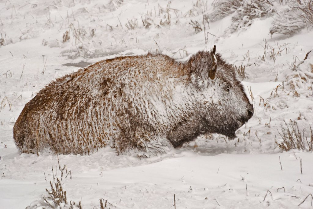 Jackson's Wild Bison Hunting Season Closing Early