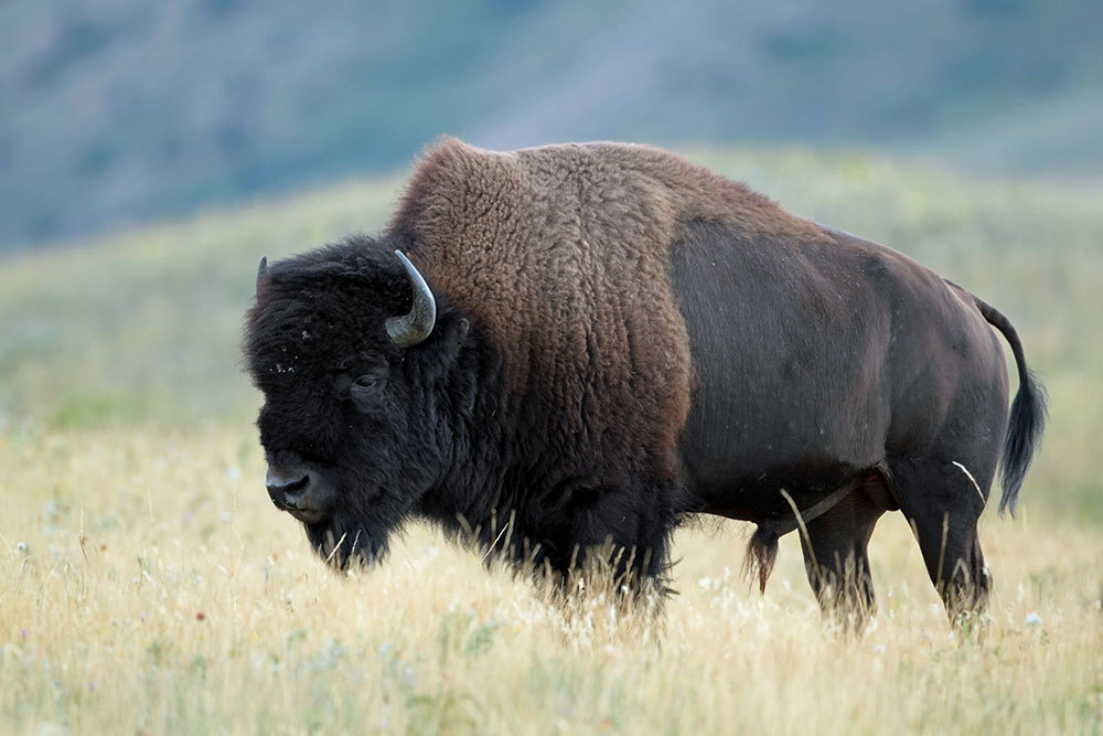Governor Joins Wyoming Wildlife – the Foundation to Donate Bison Tags to Charity